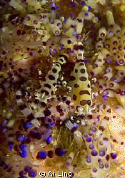 Coleman Shrimp, Anilao Phillippine by Ai Ling