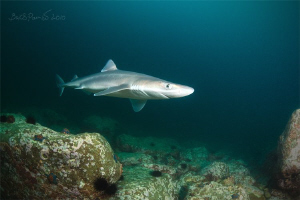 Curious shark (spiny dogfish) by Boris Pamikov