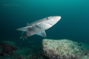 Curious shark 2 (spiny dogfish) by Boris Pamikov
