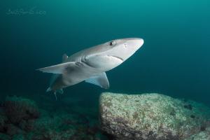 Curious shark 2 (spiny dogfish) by Boris Pamikov
