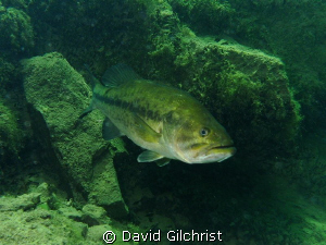 Curious Bass emerging form under a ledge in local quarry. by David Gilchrist