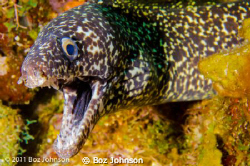 Spotted Moray, Nikon d7000, 60mm macro, ikelite housing by Boz Johnson
