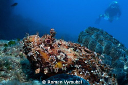 Spotted scorpionfish. Nice piece about 40 cm by Roman Vyroubal