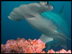 Scalloped Hammerhead, Cocos Island, Alcyone Seamount by Ofer Ketter