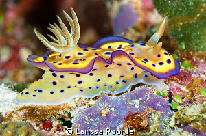 """The Glow"" Glossodoris cruentus. by Larissa Roorda"