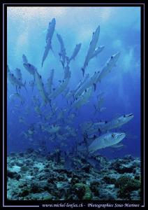 Barracudas in Palau... :O)... by Michel Lonfat