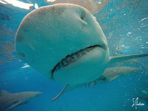 Lemon Shark Smile at Tiger Beach - Bahamas.....incredible... by Steven Anderson