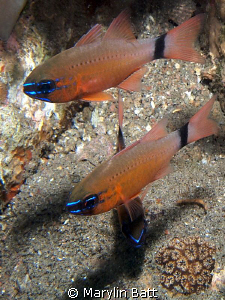 Cardinal fish in muck area in Dumaguete. Olympus pen 1 a... by Marylin Batt