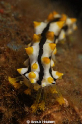 Juvenile sea cucumber by Anouk Houben
