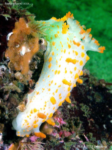 Clown nudibranch (Triopha catalinae). by Bea & Stef Primatesta