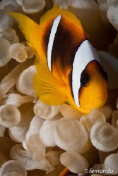 ClownFish by Fernando García Sas