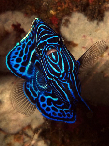 Juvenile Emperor Angelfish, Tulamben by Doug Anderson