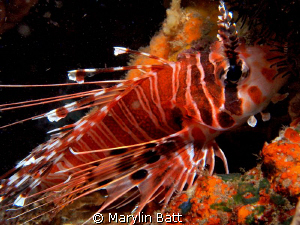 The Lion Fish were incredibly docile and posed beautifully by Marylin Batt