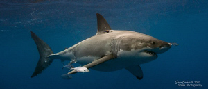 Introducing Kiwi the 4.4m female Great White.  The orange... by Sam Cahir