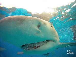 Very active Lemon Sharks found near the surface at Tiger ... by Steven Anderson