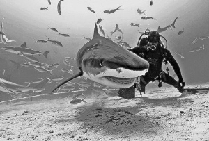 This large Tiger Shark was the first one we encountered o... by Steven Anderson