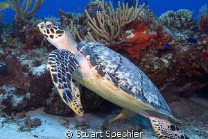 Hawksbill sea turtle preparing to launch.  Beautiful back... by Stuart Spechler