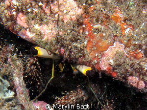 The eye's have it with this little bristle crab. by Marylin Batt