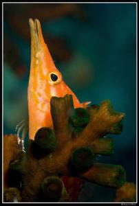 Longnose hawkfish by Dray Van Beeck