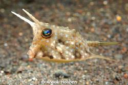 Cow-horn boxfish. by Anouk Houben