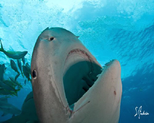 This large Tiger Shark had no issues with displaying her ... by Steven Anderson