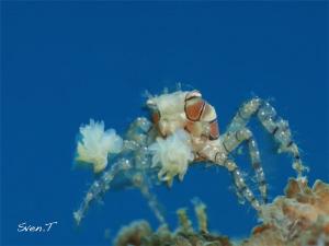 Boxer crab by Sven Tramaux