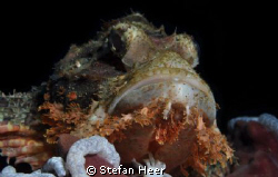 Scorpionfish in the philippines 2011! nikon D90 with UK-G... by Stefan Heer