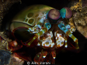 Peacock mantis shrimp - close up - by Alex Varani