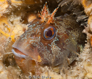 Tompot Blenny photographed on a wreck dive off Swanage. ... by Nick Blake