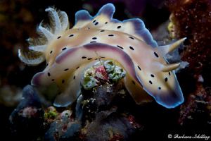 Chromodoris on the move by Barbara Schilling