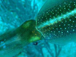 Squid, Roatan, Honduras. Olympus 5060 by Marc Burton