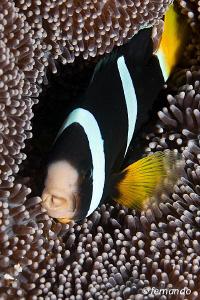 ClownFish by Fernando García