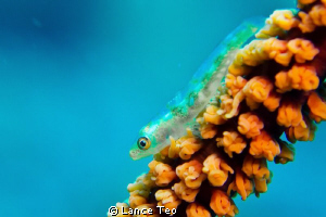 little goby on coral whip by Lance Teo