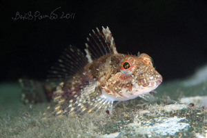 young elegant sculpin at night,  he wants to sleep :) by Boris Pamikov