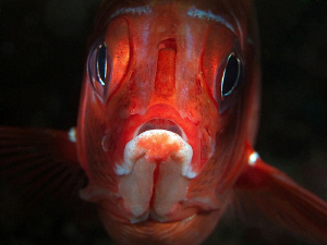 Squirrelfish, Tulamben by Doug Anderson