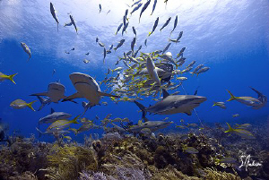 Reef Sharks by the pack! Reef Sharks cover the reef as we... by Steven Anderson