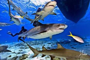 Emma swimming thru Lemons! at Tiger Beach - Bahamas by Steven Anderson