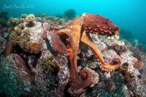 """""""Yes ... I am beautiful"""" /Giant octopus Dofleini (1) by Boris Pamikov"""