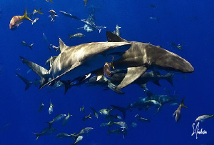 Reef Shark Tango! These Reef Sharks seemed to dance toget... by Steven Anderson