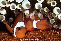 Clownfish and eggs by Cenk Ceylanoglu