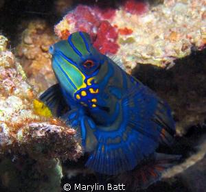 Beautiful male mandarin fish. by Marylin Batt