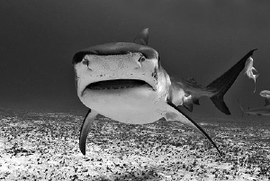 This big Tiger Shark was the first one to visit us on our... by Steven Anderson