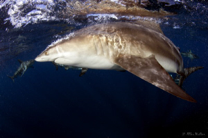 A pretty cool picture of a black Tip shark turning as soo... by Allen Walker