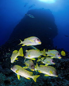 """""""Sweetlips and Habili""""   A liitle group of sweetlips in... by Henry Jager"""