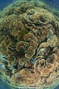 Coral Swirls by Christine Hamilton