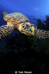 Cayman turtle with tokina 10-17 and d 200 by Tom Meyer