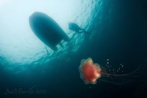 from shadows into light ... / Lion's Mane Jellyfish   by Boris Pamikov