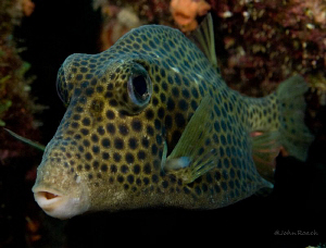 Spotted Trunkfish -  Lactophrys bicaudalis by John Roach