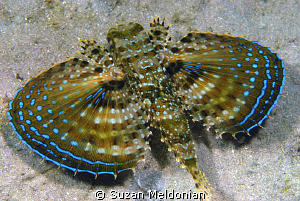 Flying Gurnard. I just love that these guys have little h... by Suzan Meldonian