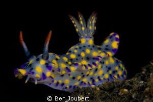 Saw this colorful guy on the black volcanic sand under th... by Ben Joubert
